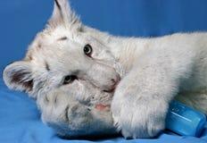 Tigre de Hungy image stock