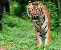 Tigre de Java Imágenes de archivo libres de regalías
