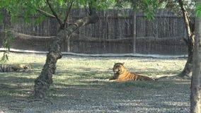 tigre de 4K Bengala que miente y que descansa sobre el paisaje salvaje de la naturaleza del bosque de la hierba metrajes