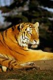 Tigre de la tarde Foto de archivo libre de regalías