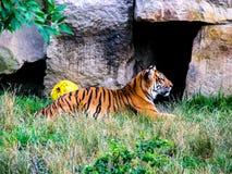 Tigre de mentira en hierba con las piedras en fondo Observaci?n del tigre imagenes de archivo