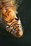Tigre de natation Image stock