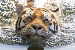 Tigre de natation Photos stock