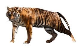 Tigre de passeio Isolado sobre o branco Imagens de Stock