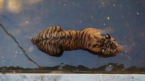 Tigre de refrigeración Foto de archivo