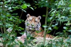 Tigre de relaxamento Fotos de Stock Royalty Free