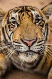 Tigre de Smilling Imagen de archivo libre de regalías