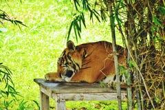 Tigre de sommeil image stock