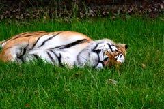 Tigre de sommeil images libres de droits