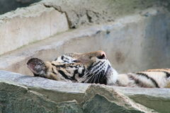 Tigre de sommeil Photographie stock