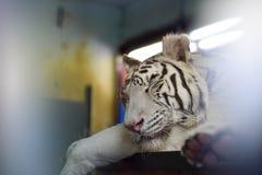 Tigre de sommeil images stock