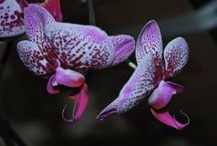 Tigre de sourire de Phalaenopsis Images stock