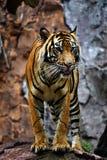 Tigre de Sumatera Imagem de Stock Royalty Free
