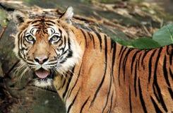 Tigre de Sumatra Imagen de archivo libre de regalías