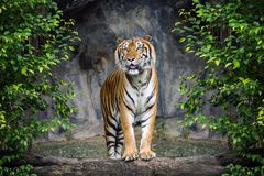 Tigre de Sumatran Imagenes de archivo