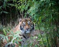 Tigre de Sumatran Foto de archivo libre de regalías