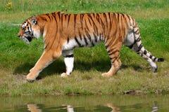 Tigre de Sumatran Photos libres de droits