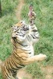 Tigre de Sumatran Photos stock