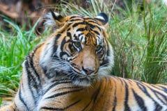 Tigre de Sumatran fotos de archivo libres de regalías