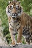 Tigre de Sumatran Fotografia de Stock Royalty Free