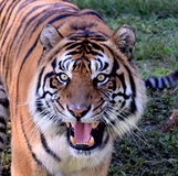 Tigre de Sumatran photo stock