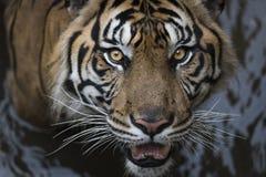 Tigre de Sumatran con agua Imagen de archivo