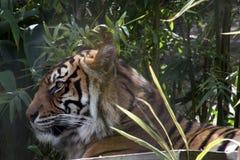 Tigre de Sumatran détendant dans la forêt images libres de droits