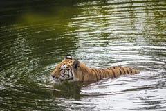 Tigre de Sumatran da natação Imagem de Stock