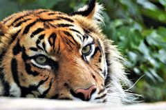 Tigre de Sumatran no close up imagens de stock royalty free
