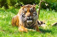 Tigre de Sumatran que descansa sobre hierba Foto de archivo