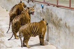 Tigre de Sumatran que ruge Fotografía de archivo
