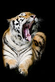 Tigre de Sumatran que ruge foto de archivo
