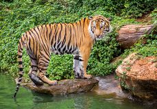 Tigre de Sumatran que se coloca en la atmósfera natural imágenes de archivo libres de regalías