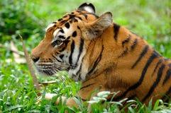 Tigre de Sumatran (sumatrae de tigris de Panthera) Photographie stock libre de droits