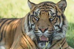 Tigre de Sumatran (sumatrae del Tigris del Panthera) Fotos de archivo