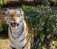 Tigre de Ussurian que olha na lente foto de stock