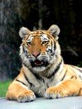 tigre de verticale Photo libre de droits
