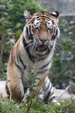 Tigre de Yeawning Imagen de archivo libre de regalías