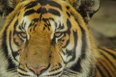 Tigre debajo del sol por la mañana Fotografía de archivo libre de regalías
