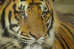 Tigre debajo del sol por la mañana Fotos de archivo libres de regalías
