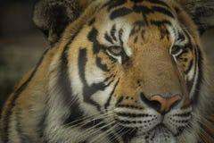 Tigre debajo del sol por la mañana Imagenes de archivo