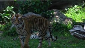 tigre del adulto 3 que camina y que mira, mintiendo en el hábitat de la naturaleza almacen de video