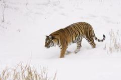 Tigre del Amur fotografie stock