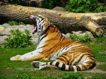 Tigre del Amur Immagini Stock Libere da Diritti