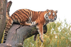 Tigre del Amur (altaica del tigris del Panthera) Fotografie Stock