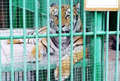 Tigre del Amur in tana Fotografie Stock