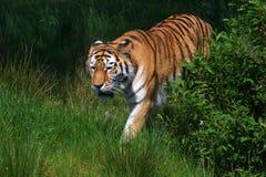 Tigre del Amur in un campo verde Fotografia Stock