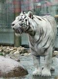 Tigre del blanco de Bengala Imagenes de archivo