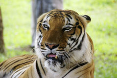 Tigre del Borneo Fotografia Stock