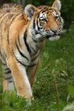 tigre del cub del amur Fotografie Stock Libere da Diritti
